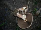 Agaricus austrovinaceus image