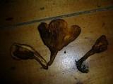 Austropaxillus muelleri image