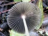 Parasola lactea image