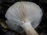 Hygrophorus persoonii image