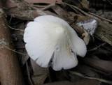 Coprinopsis marcescibilis image