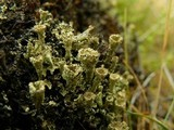 Image of Cladonia metacorallifera