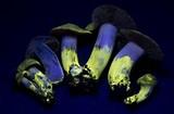 Cortinarius ahsii image