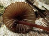 Mycena sanguinolenta image