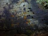 Orbilia eucalypti image