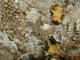 Lasallia papulosa image