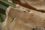 Cylindrobasidium corrugum image