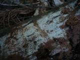 Hyphodontia pallidula image