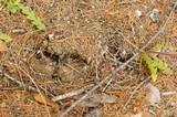 Agaricus bitorquis image