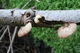 Pleurotopsis longinqua image
