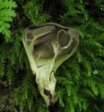 Helvella griseoalba image