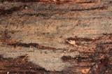 Xenasma tulasnelloideum image
