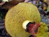 Suillus spectabilis image