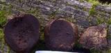Alpova olivaceotinctus image