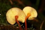 Xeromphalina tenuipes image