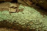 Image of Physcia crispa