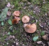 Lactarius subviscidus image