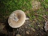 Amanita borealisorora image