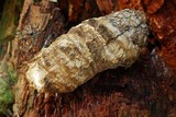 Fomitopsis officinalis image