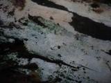 Alutaceodontia alutacea image