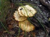 Neolentinus ponderosus image