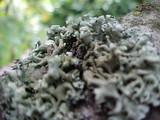 Physcia tenella ssp. tenella image