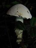 Austroboletus subflavidus image