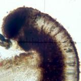 Buellia stillingiana image