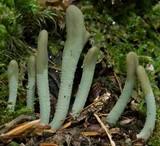 Microglossum viride image