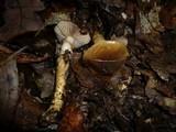 Cortinarius trivialis image