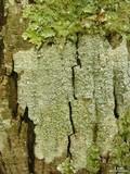 Image of Pertusaria neoscotica