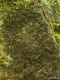 Vahliella leucophaea image