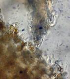Psilocybe inquilina image