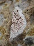 Caloplaca crenularia image