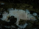 Ceraceomyces serpens image