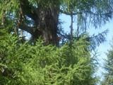 Laetiporus montanus image