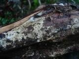 Piloderma bicolor image