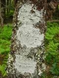 Image of Pertusaria trachythallina