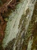 Icmadophila ericetorum image