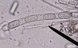 Wolfina aurantiopsis image