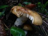 Russula foetens image