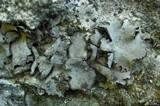 Image of Dermatocarpon schaechtelinii