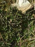 Image of Peltigera chionophila
