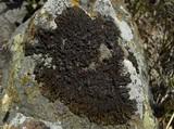 Image of Neofuscelia loxodes