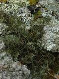 Image of Bryoria glabra