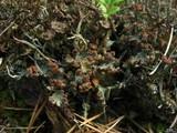 Cladonia gracilis image