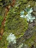 Image of Melanelia subelegantula