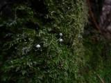 Mycena corynephora image