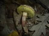 Boletus porosporus image