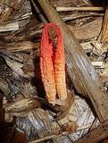 Laternea triscapa image